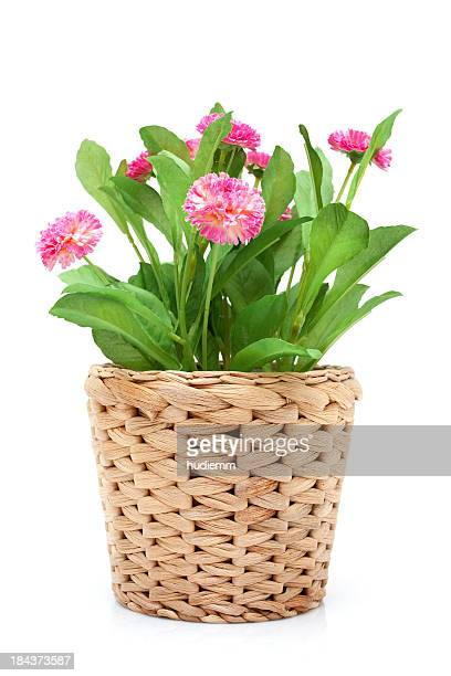Flower in woven pot isolated on white background