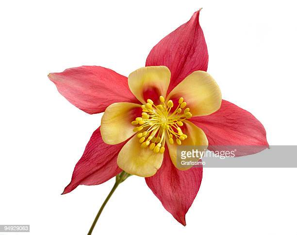 flower isolated on white - columbine flower stock pictures, royalty-free photos & images