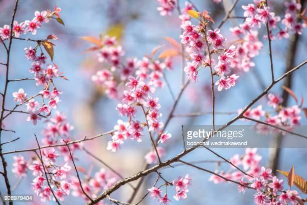 Flower King Tiger-sakura , Paya serkrong Nan Thailand In Kunsatran. Choose soft focus, beautiful
