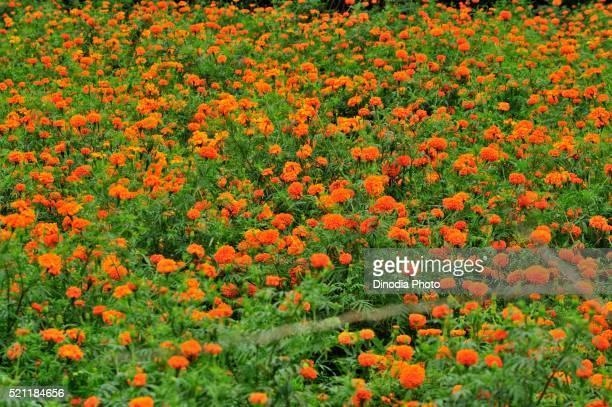 Flower Marigold at pune, Maharashtra, India, Asia