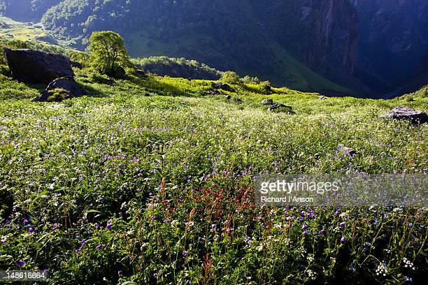 Flower meadow above gorge in Bhyundar Valley.