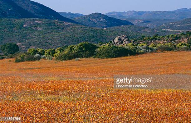 Flower Meadow and Mountains, Namaqualand, West Coast, South Africa