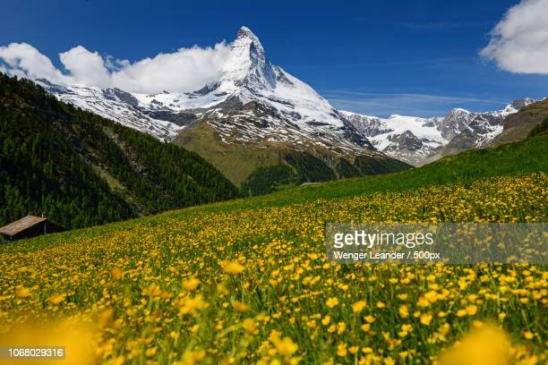 flower meadow and mountains - swiss alps stock pictures, royalty-free photos & images