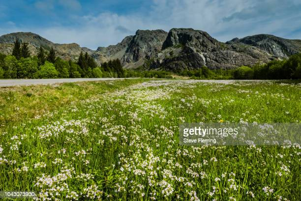 Flower meadow high up on Leka Island, Norway.