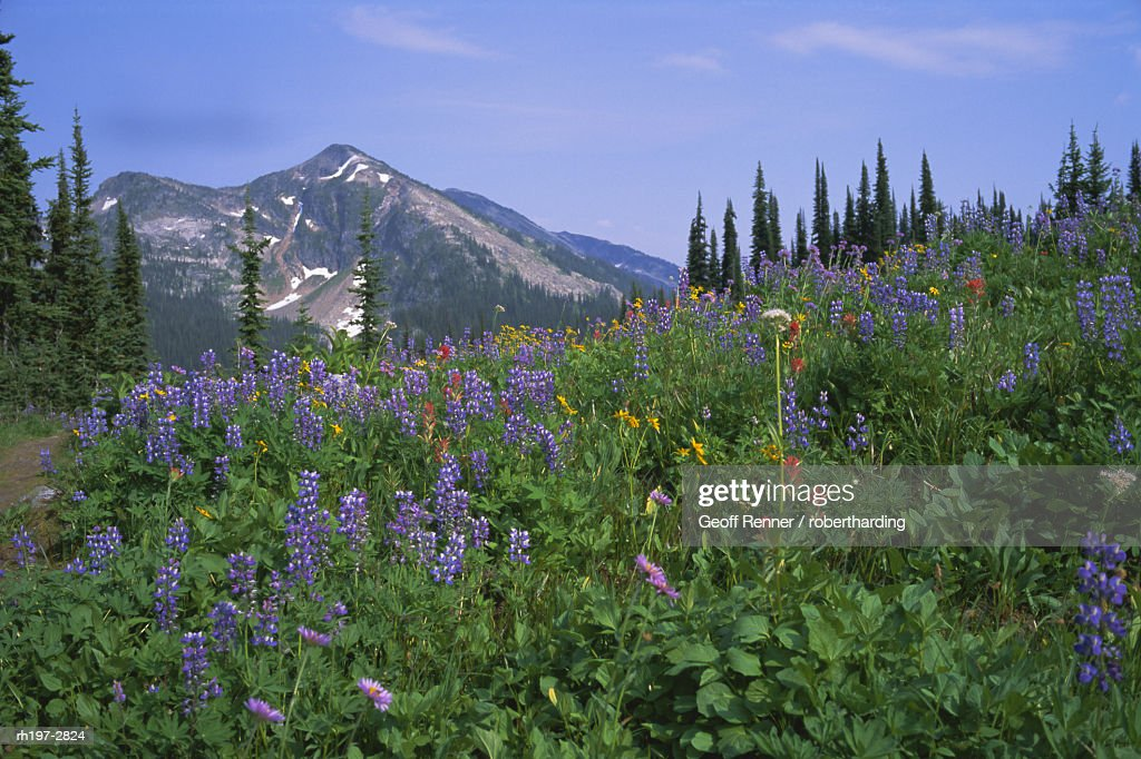 Flower meadow, Mount Revelstoke National Park, Rocky Mountains, British Columbia B.C., Canada, North America : Foto de stock
