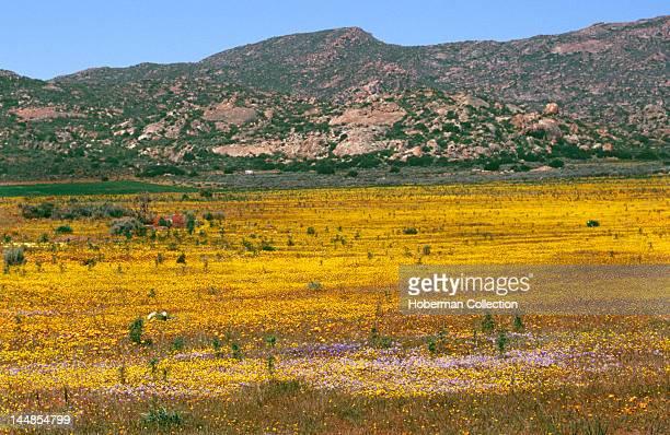 Flower Meadow, Namaqualand, West Coast, South Africa