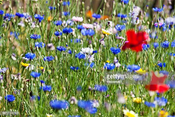Flower meadow, Poppy, Papaver rhoeas, and cornflower, Centaurea cyanus