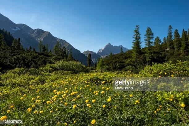 Flower meadow with yellow Marsh marigolds (Caltha palustris), behind Watzmann massif, Berchtesgaden National Park, Berchtesgadener Land, Upper Bavaria, Bavaria, Germany