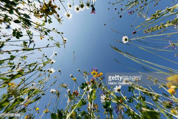 flower meadow, worms eye view, bavaria, germany - low angle view photos et images de collection