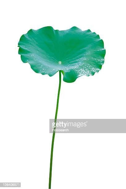 Flower, Nature, Leaf, Lotuses, Lily Pad, Fresh