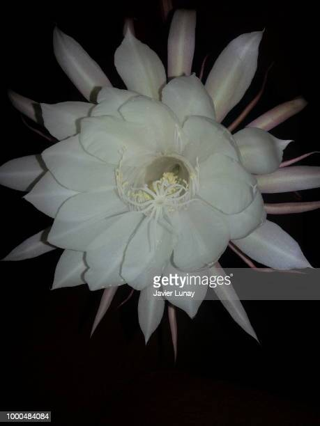 flower night - lunay fotografías e imágenes de stock