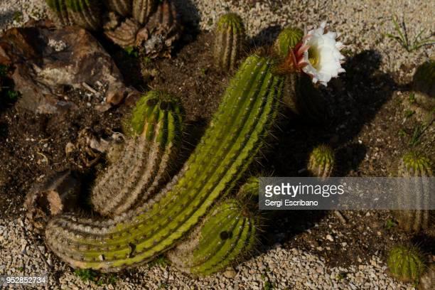 Flower of a cactus Echinopsis spachiana