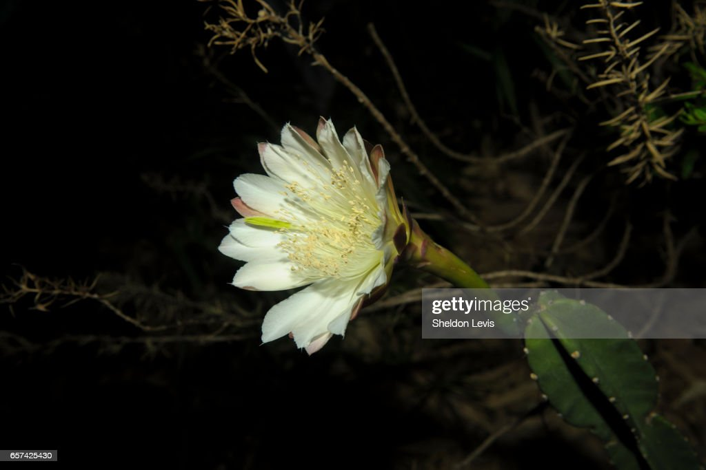 Flower of a night-blooming Cereus cactus : Stock Photo