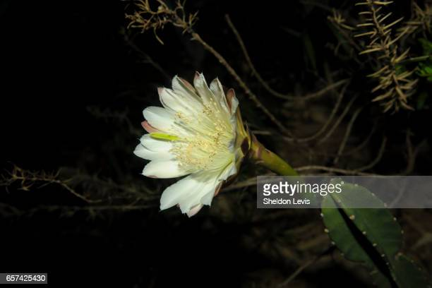 flower of a night-blooming cereus cactus - by sheldon levis fotografías e imágenes de stock