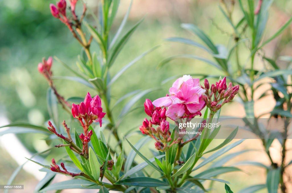 flower of a pink oleander nerium oleander stock photo getty images