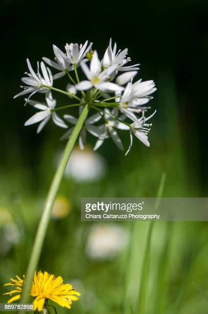 Flower of allium nigrum