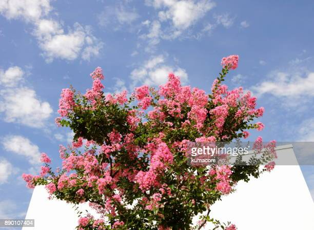 flower of crape myrtle - crepe myrtle tree stock pictures, royalty-free photos & images