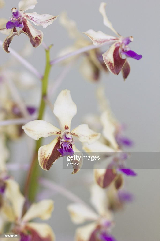 Flower of Cymbidium : Stock Photo