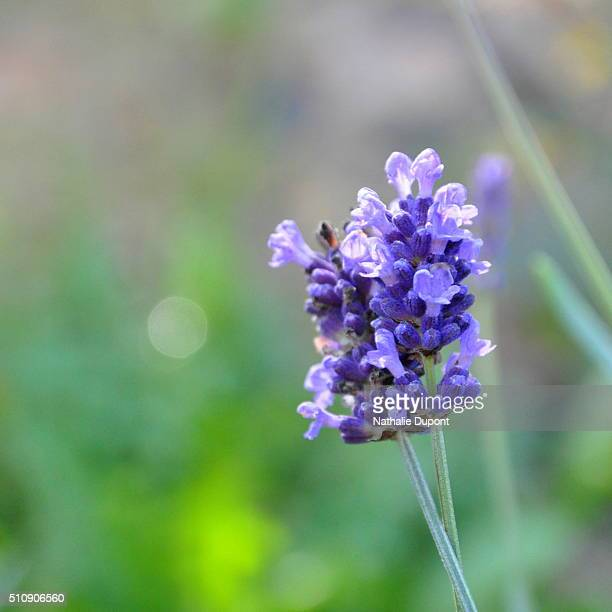 Flower of lavender