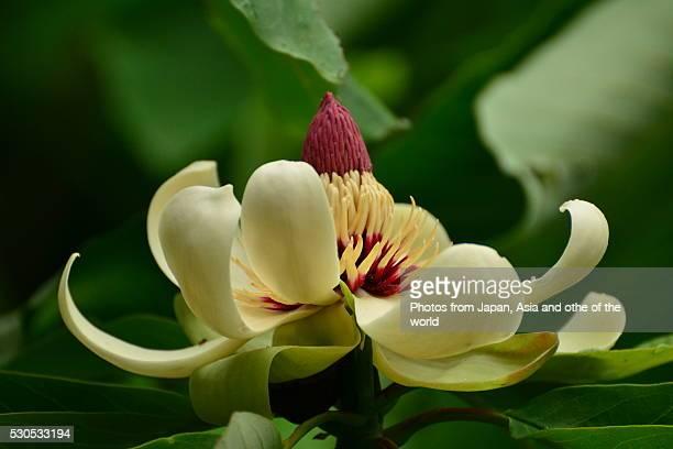 flower of magnolia obovata - magnolia obovata stock photos and pictures