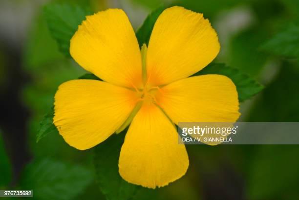 Flower of Maupiti island Society Islands French Polynesia