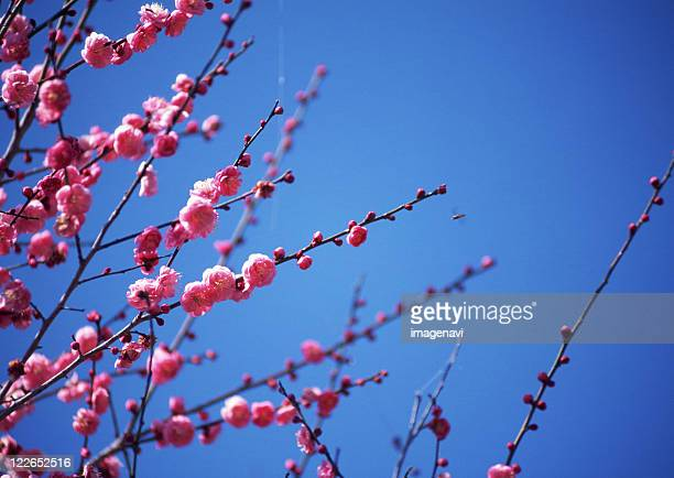 flower of peach - peach blossom stock pictures, royalty-free photos & images