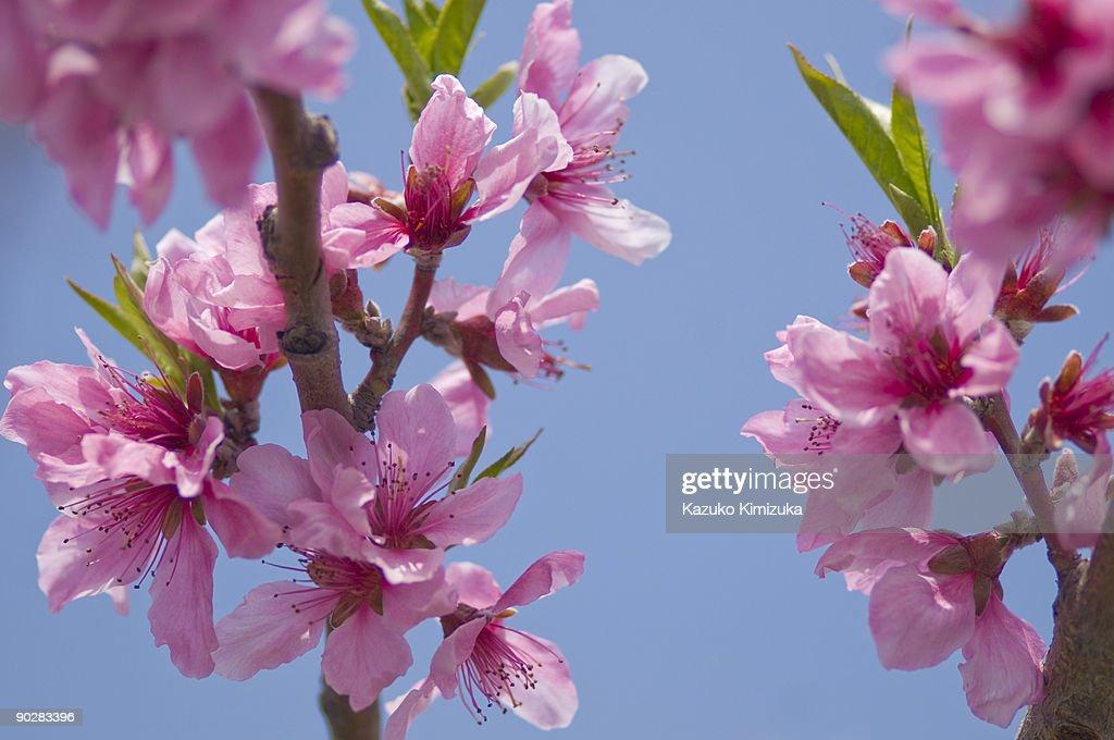 Flower of Peach : ストックフォト