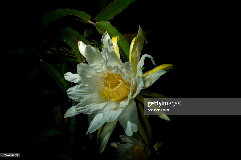 Flower of the Red Dragon Fruit (Hylocereus costaricensis) blooming at night. : Stock Photo
