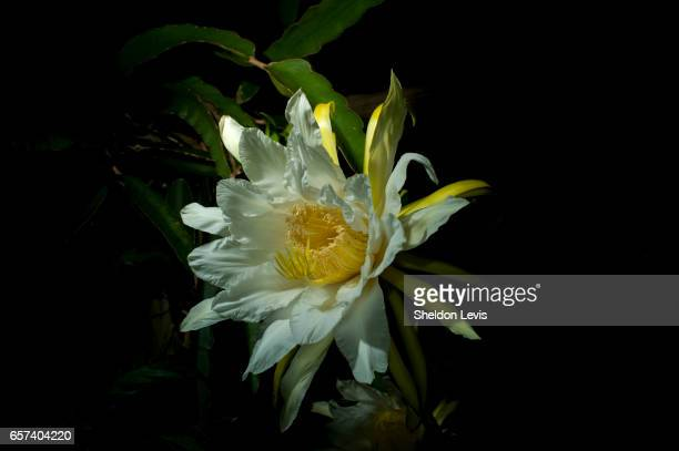 flower of the red dragon fruit (hylocereus costaricensis) blooming at night. - by sheldon levis stock pictures, royalty-free photos & images