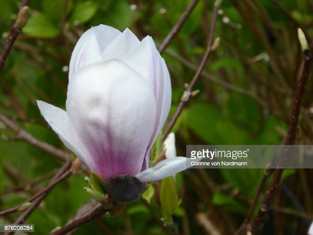 flower of the tulip magnolia - magnolia x soulangeana - mulan stock pictures, royalty-free photos & images