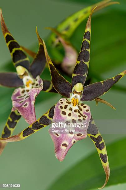 Flower of tropical orchid Spotted Brassia -Brassia maculata-