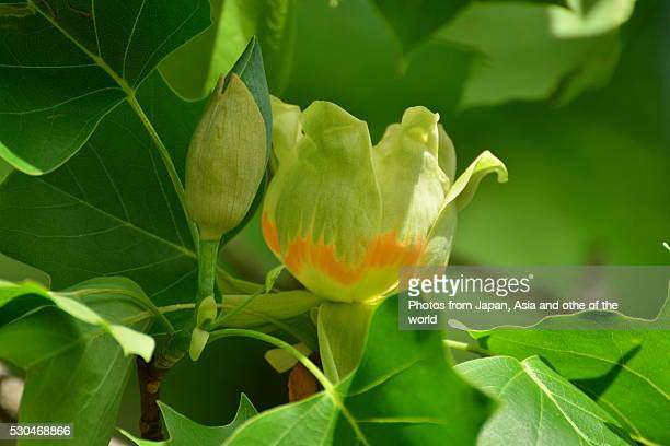 flower of tulip tree - tulip tree stock photos and pictures