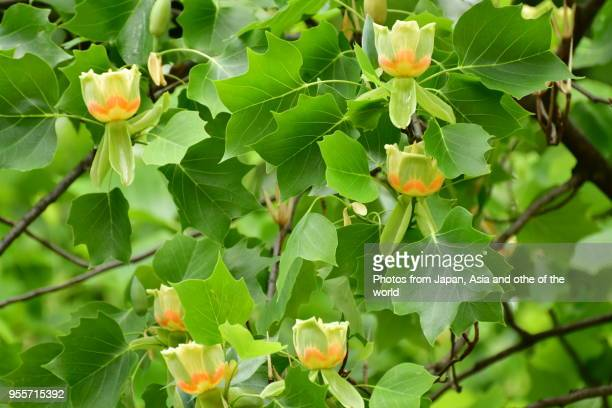 60 Top Tulip Tree Pictures Photos Images Getty Images