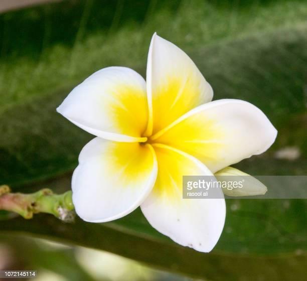 Flower  of yasmine indian