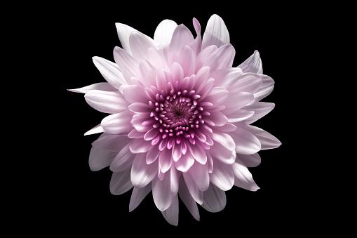 Flower on Black Background - gettyimageskorea