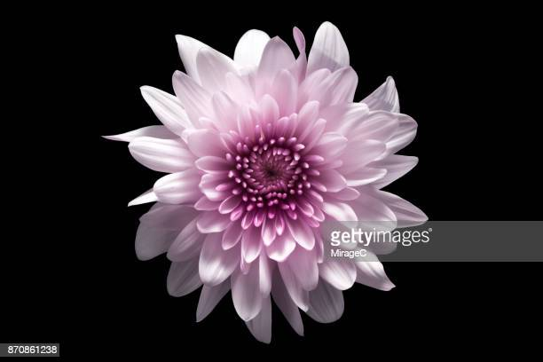 flower on black background - flower head stock pictures, royalty-free photos & images