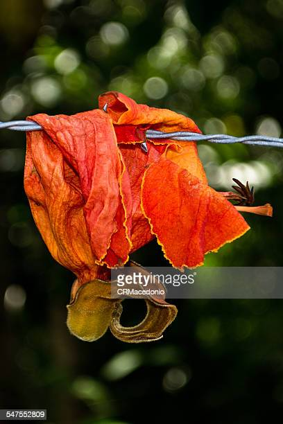 flower on the barbed wire. - crmacedonio stockfoto's en -beelden
