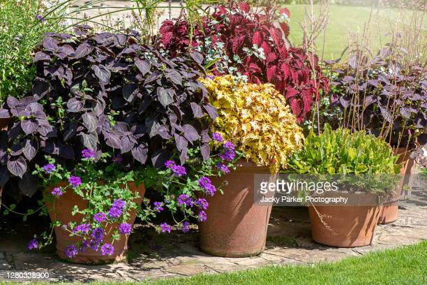 a flower patio display of heuchera. common name coral bells planted in terracotta flower pots - plant pot stock pictures, royalty-free photos & images