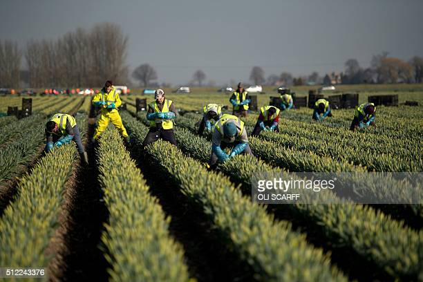Flower pickers harvest rows of Carlton daffodils on Taylors Bulbs farm near Holbeach east England on February 24 ahead of Mother's Day which will be...