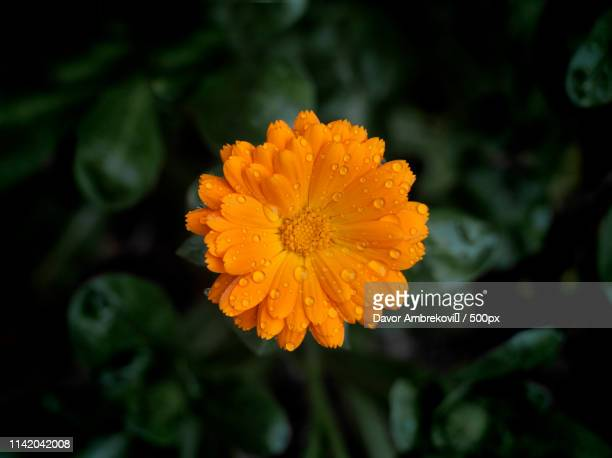 flower - pot marigold stock pictures, royalty-free photos & images