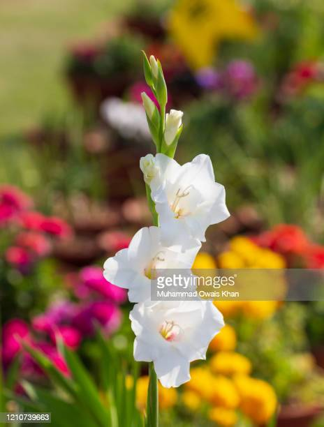 flower - gladiolus stock pictures, royalty-free photos & images
