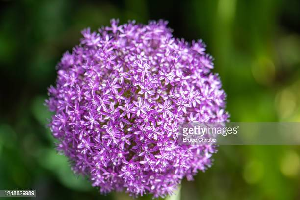 flower - allium flower stock pictures, royalty-free photos & images