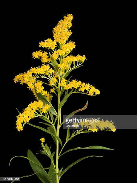 flower (solidago gigantea) - goldenrod stock pictures, royalty-free photos & images