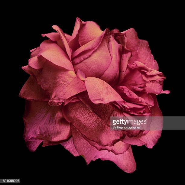 flower - black rose stock pictures, royalty-free photos & images