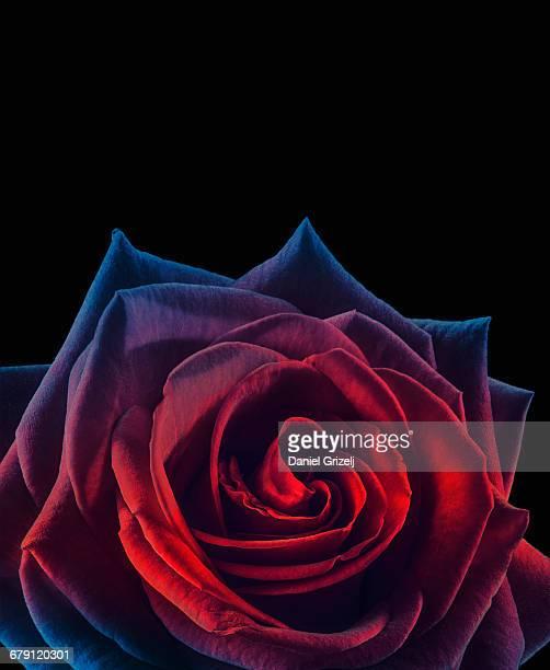 flower - black rose stockfoto's en -beelden