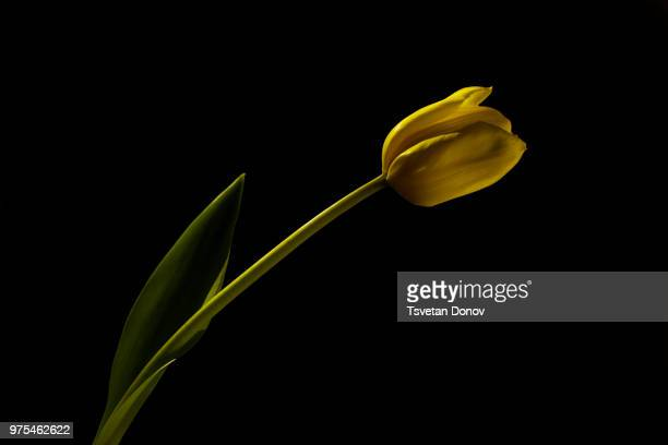 1 388 Tulips Black Background Photos And Premium High Res Pictures Getty Images