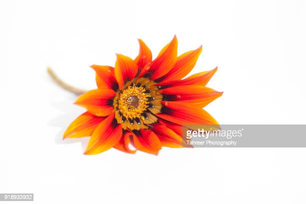 flower placed on white background