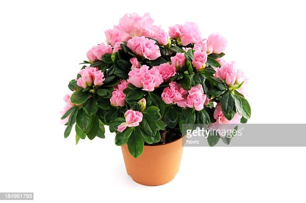 flower pot of pink Azalea (Rhododendron) on isolated background