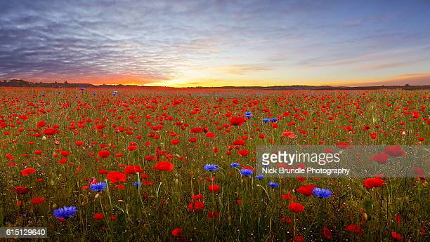 flower power - oriental poppy stock pictures, royalty-free photos & images