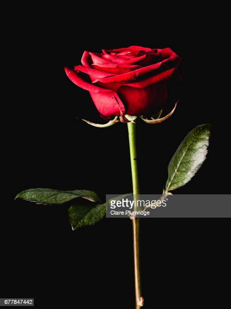 flower power - red roses stock pictures, royalty-free photos & images